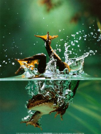 Frog captured diving in water.