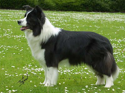 Border collie; the most intelligent of all dog breeds. Require daily physical exercise and mental stimulation. Possesses an intense desire to herd and excel at showmanship. They are perfectionists with a permanent will to please.