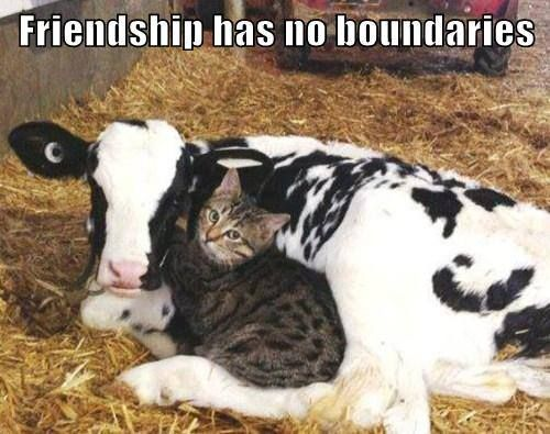 #funny #cats #funny #cat #lol #humor #hilarious #cute #kitty #cat #feline #cow #friends #friendship