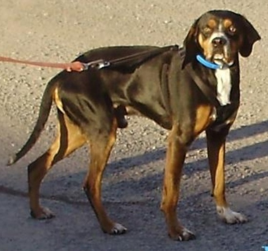 ICE-- #SPONSORED FOR RESCUE! is a handsome  Boxer Black & Tan Coonhound mix  dog #adoptable in #Marlinton #WVIRGINIA - at the Pocahontas County Animal Shelter mailto:asapwva@gm...