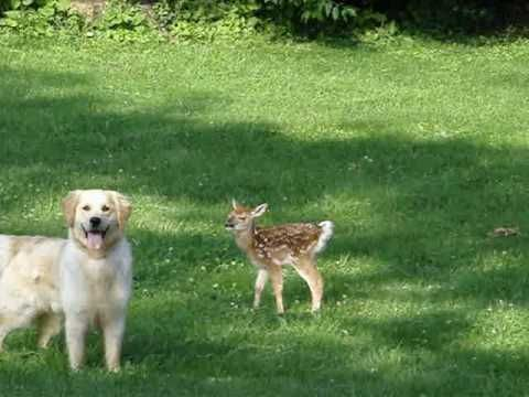 Oh. My. Goodness. Oh. My. Goodness. Oh. My. Goodness... Golden Retriever and Newborn Fawn