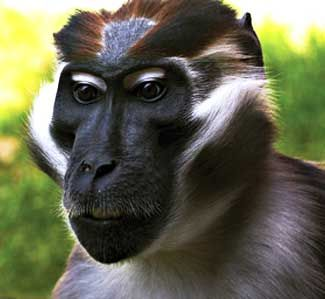 sooty, mangabey, active, diverse, African monkey