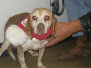 CHIP-IN~URGENT!~MRS CLAUS Beagle Sr Female SPECIAL NEEDS MANSFIELD OHIO-I really NEED HELP. Its the time of year when MIRACLES happen & I'm praying someone will help. I came to the shelter 12/8/12-a stray. My heart's breaking & I'd really appreciate YOUR HELP! DONATE HERE: richlandcountydog...  CALL:Richland Cty Dog Warden-419-774-5892 I have a hernia or a tumor hanging down from my belly & I have a cherry eye & need surgery. PLEASE HELP-EVEN $1-SAVE MY LIFE...