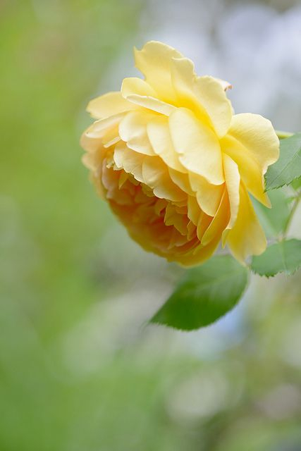 ~~Rose 'Golden Celebration' by myu-myu~~