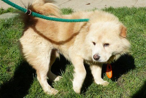 #OHIO #URGENT ~ Beijing is a 6 year old Chow male in Kennel 10. This beautiful guy is a little shy & in need of a loving #adopter or #rescue at CUYAHOGA COUNTY ANIMAL SHELTER 9500 Sweet Valley Drive Valley View, OH 44125 Ph 216-525-4827