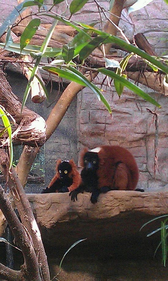 Lemur gets a #best friend memory #best friend memories #best friend