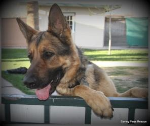 Harley is an adoptable German Shepherd Dog Dog in Glendale, AZ. Harley is a playful dog we recieved from the county shelter. He is neutered and is a really great dog. We are still assessing how he doe...