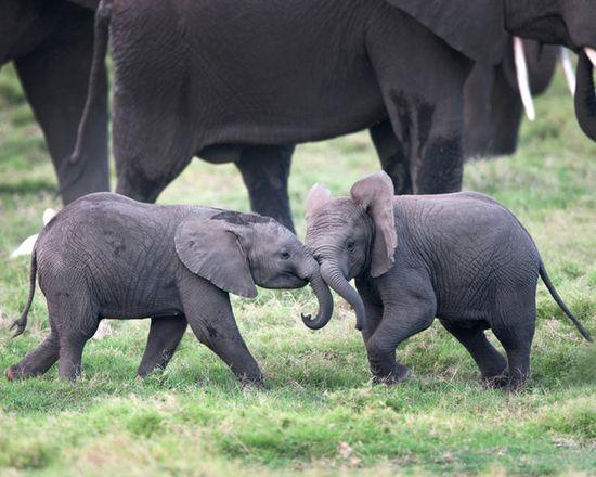 Cute baby elephants at play