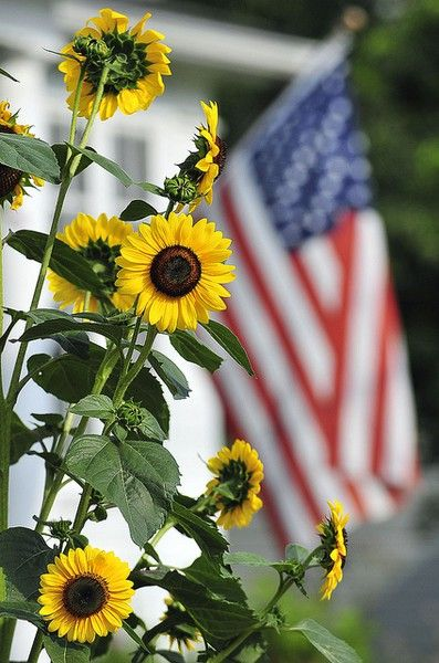 sunny sunflowers flanked by the flag