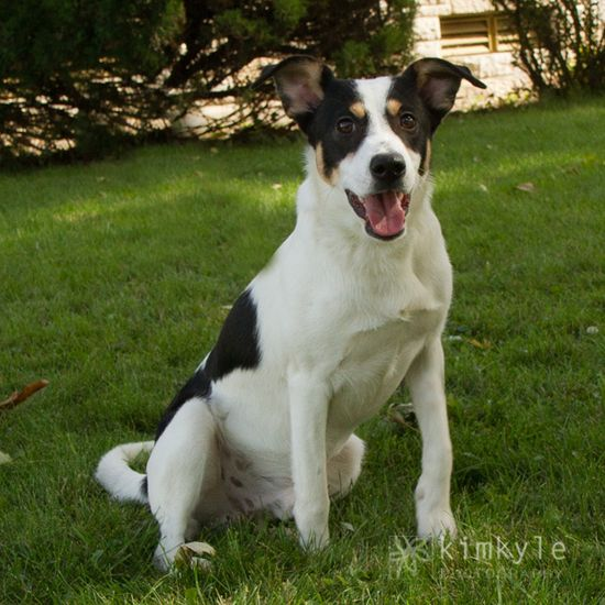 This is Gabe a 1 year old Shepherd/Hound mix he is such a sweet boy with a big personality, he is a medium sized boy only weighing 26lbs. He loves everyone he meets!