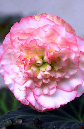 White & Pink Begonia    #flower #white #pink