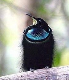 Magnificent Riflebird, Australia - Bird of Paradise