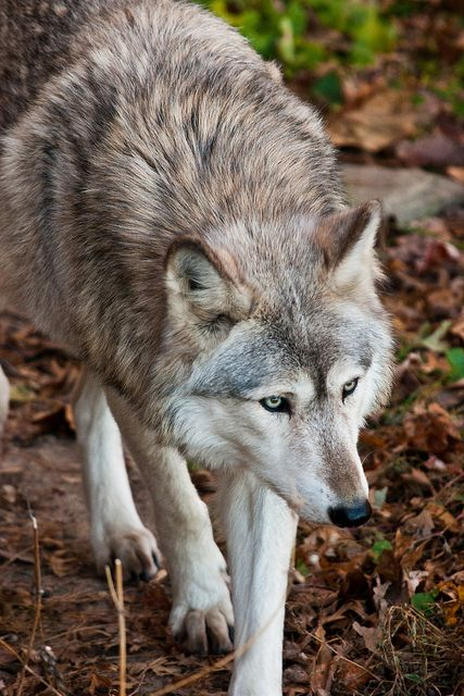 ?WPSP Wolf by Dawn Ryan