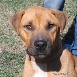 Adoptable Fridays: Meet Fremont!  Fremont the Hunk is an adoptable Boxer Dog in Hartford, CT. Fremont is a GREAT looking dog that weighs about 80 pounds -- a lot of muscle. He is very docile towards other dogs. Click here to find out more! #pets #animals #dogs