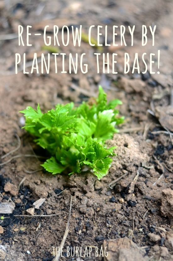Re-grow celery by planting the base—children will love this!