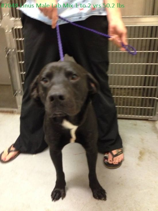 "#WVIRGINIA #URGENT #GassingShelter - Linus is a ""Happy-Go-Lucky"" Black Labrador Retriever mix dog in need of a loving #adopter / #rescue at HUMANE SOCIETY of RALEIGH COUNTY 325 Gray Flats Rd Beckley WV 25802 mailto:rcpets@hot... P 304-253-8921"