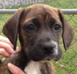 Mollie Baby is an adoptable Boxer Dog in Andover, MA. **Please read Mollies entire profile, which includes a link to the adoption application. Thank you!** Mollie baby is an 8 week old lb/boxer mix t...