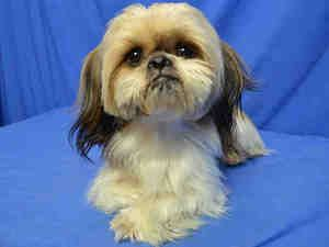 MILO is an adoptable Lhasa Apso Dog in Saint Louis, MO. MILO IS A SWEET BOY. HE PLAYS WELL WITH KIDS AND OTHER PETS. HE IS HOUSETRAINED AS WELL! HE WOULD LOVE TO FIND A GREAT NEW HOME....