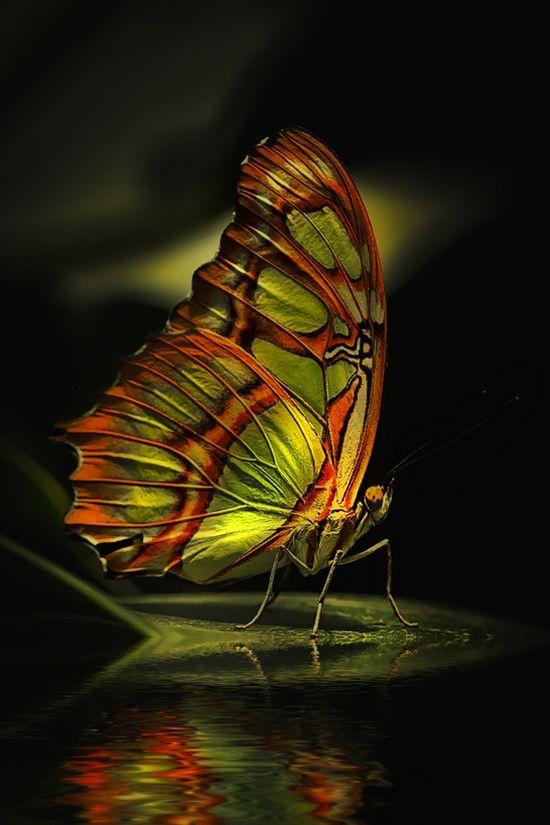 Aurora Borealis Butterfly