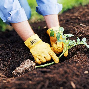 Planting tomato plants on their side encourages a good root system. :)