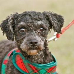 Nadia is an adoptable Poodle Dog in East Hanover, NJ.