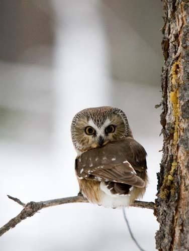 **Owl