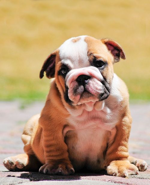 English Bulldog puppy ~ a heartbeat at my feet..