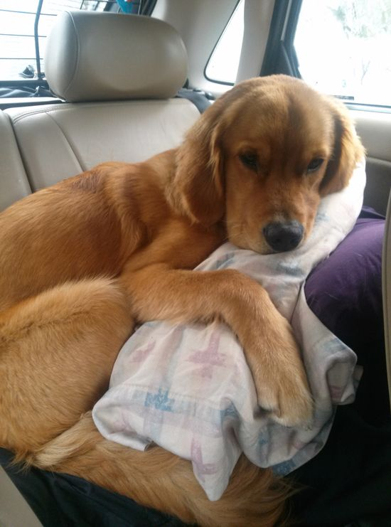 How he like to ride in the car when we go on road trips! - Imgur