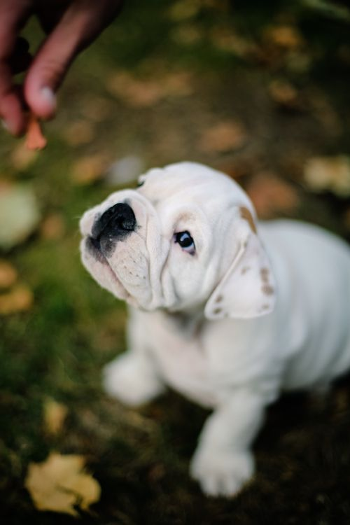 #english #bulldog #white #puppy  (Cannot believe how much this puppy resembles ours when he was a little puppy!)