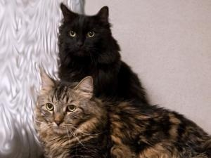 BENNY is an adoptable Domestic Long Hair Cat in Boston, MA.