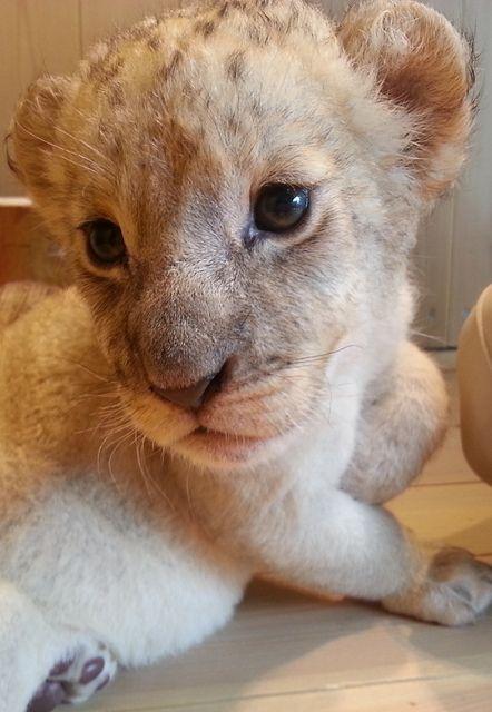 Baby Lion - Sooo Cute !