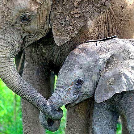 Elephant - wild-animals Photo