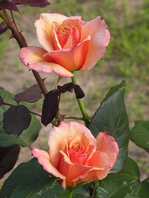 ????(???•Aussiegirl   Tahitian Sunset Rose