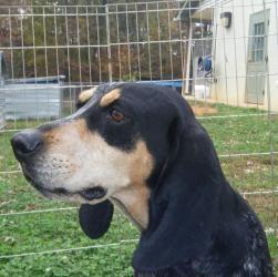 VIRGINIA ~ URG'T ~ meet Joyce an #adoptable #BluetickCoonhound  in Madison, #adopt her at Madison County Animal Shelter, Madison, VA  540-948-6945 - PIN 12/21  ...