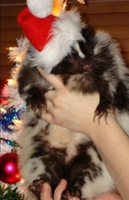 Cute Pet Skunk Dressed At Christmas
