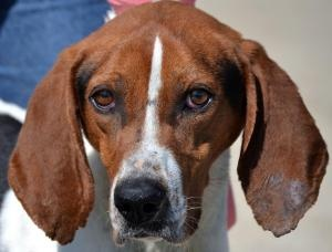 #OHIO ~ Hammer- PET OF THE WEEK is a 4y/o #adoptable Treeing Walker Coonhound dog - It's Hammer Time! He entered the shelter in an emaciated state over 4 weeks ago.  In that time he has filled out nicely & is a very handsome tri-colored hound.  Hammer gets along great with people & loves his treats.  Mild mannered & more than ready to find a soft bed to lie on.  #Adopt him at the ATHENS COUNTY DOG SHELTER  13333 State Route 13  #Millfield OH 45760  mailto:jkoons@ath...  Ph 740-593-5415