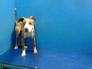 NICK is an adoptable Pit Bull Terrier Dog in Brooklyn, NY.  ...