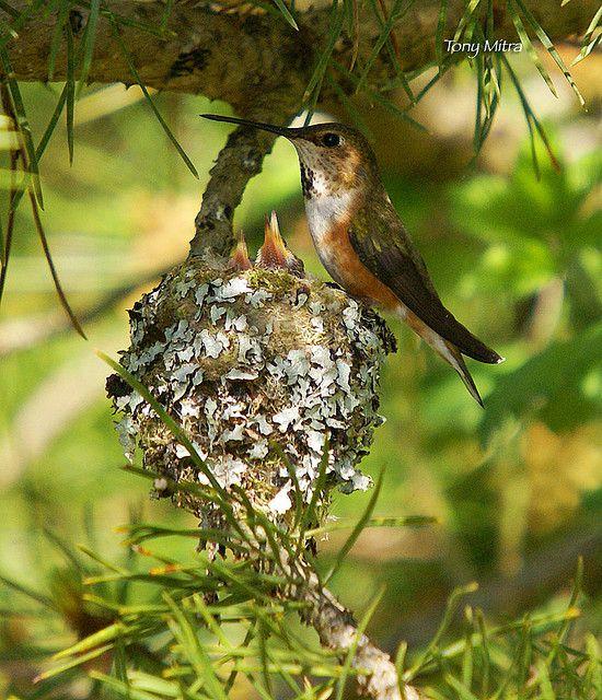 Rufous Hummingbird at nest