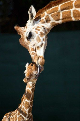 Not here, Mummy, people might see! A baby giraffe is licked lovingly clean.
