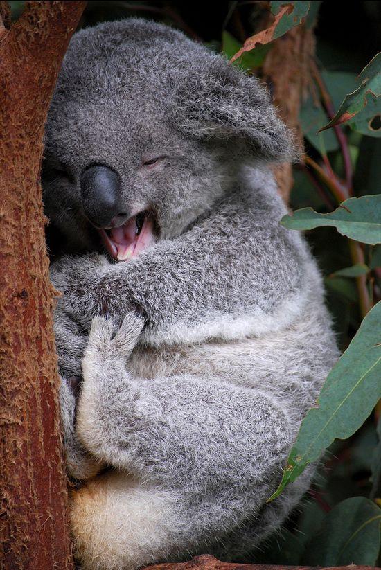 .Koala