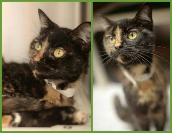 Precious Baby Cat - 1 year old - female - 5lbs Tortie