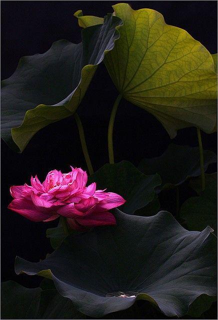 Lotus Flower by Bahman Farzad