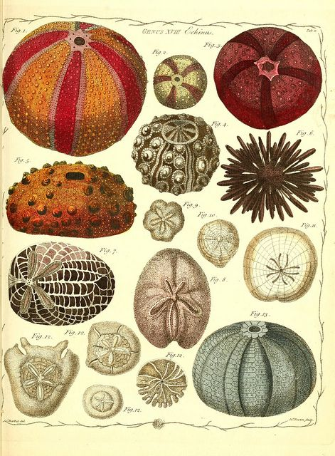 """from """"The genera vermium exemplified by various specimens of the animals contained in the orders of the Intestina et Mollusca Linnaei v.1-2"""" by BioDivLibrary, via Flickr"""