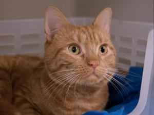 COCO is an adoptable Domestic Short Hair Cat in Boston, MA.