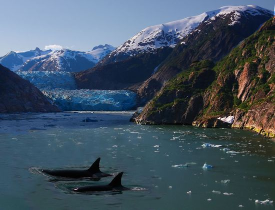 Two transient orcas make their way through an Alaskan fjord.