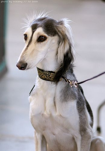 ~Saluki.  Beauty~