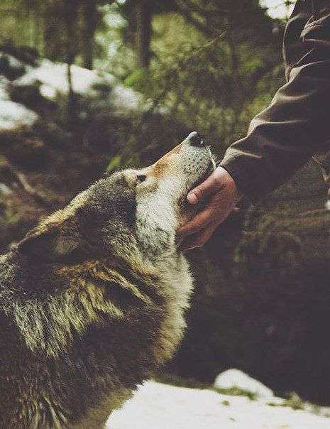 If I could have a wolf, I'd be one happy lady.