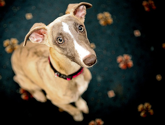 Eko - Whippet Puppy