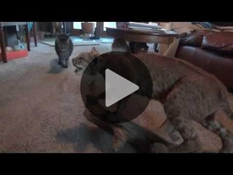 Four Cats, a Stuffed Bobcat, and a Dog make a Funny Video