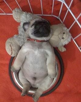 My bowl makes such a comfy bed... #puppies #furrycuteness #toocute #animals